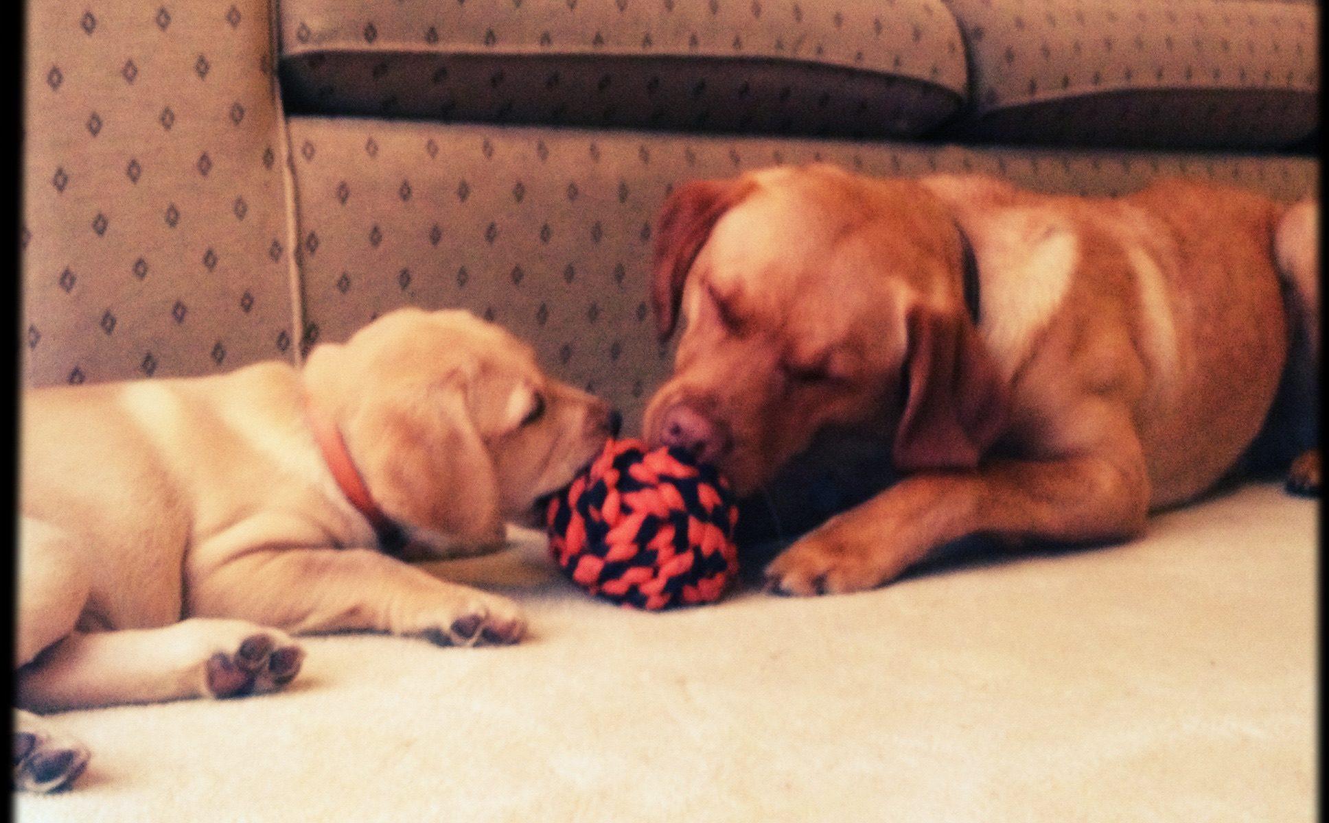 Labrador Puppies Playing