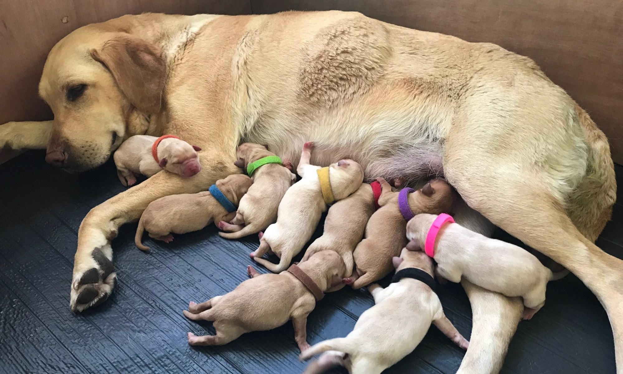 home labrador puppies for sale in york