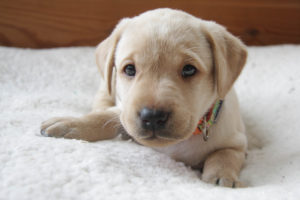 Labrador Puppies York
