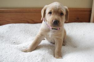 Labrador Puppies York