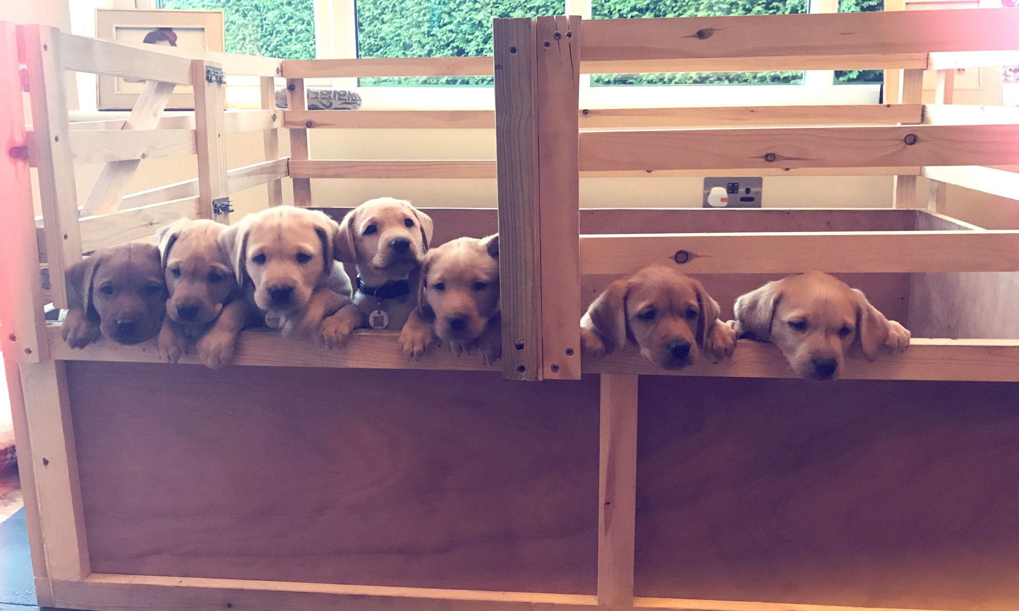 Labrador puppies for sale. ready for their new homes at the end of october 2020
