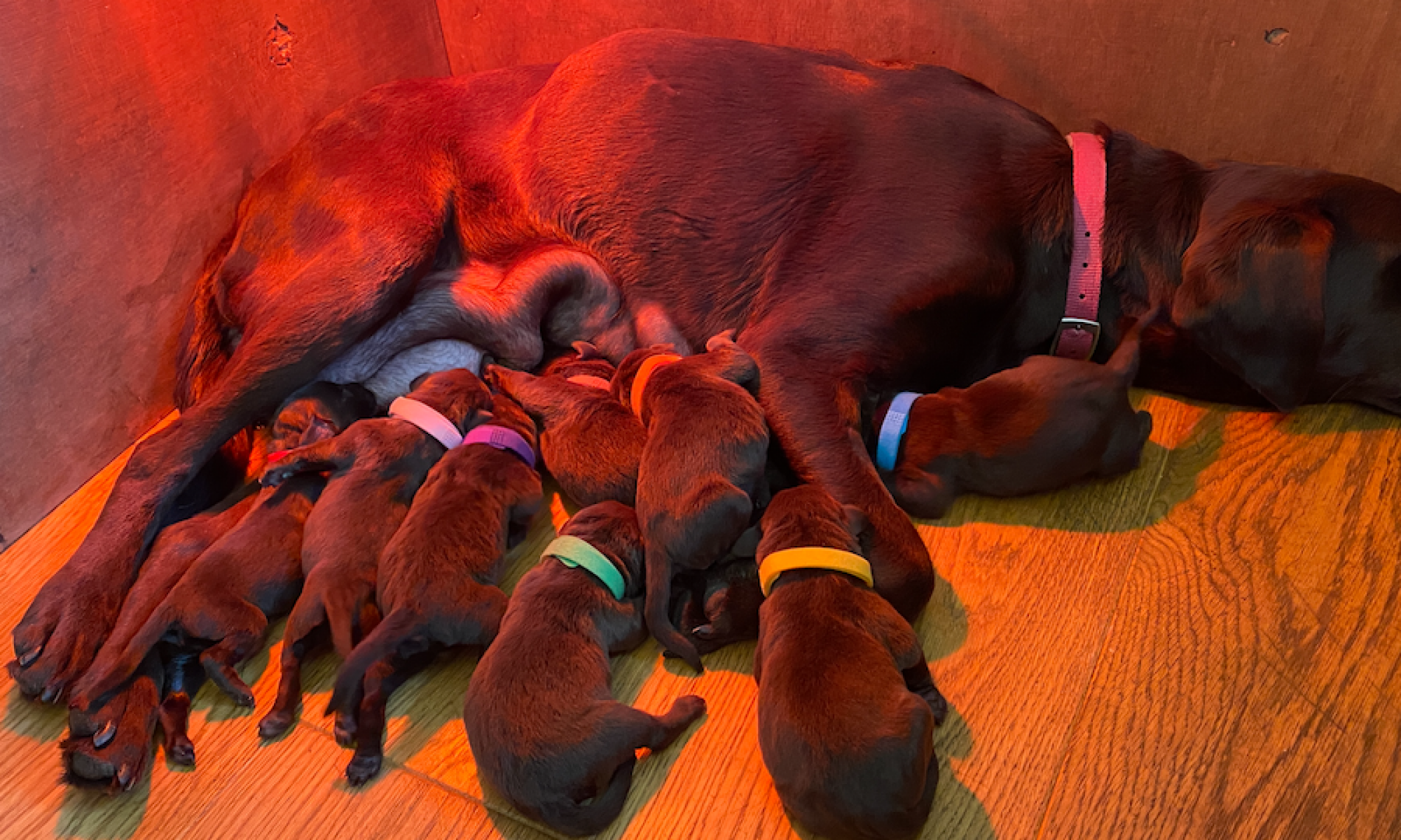 Labrador puppies for sale. ready for their new homes on 26 October 2021